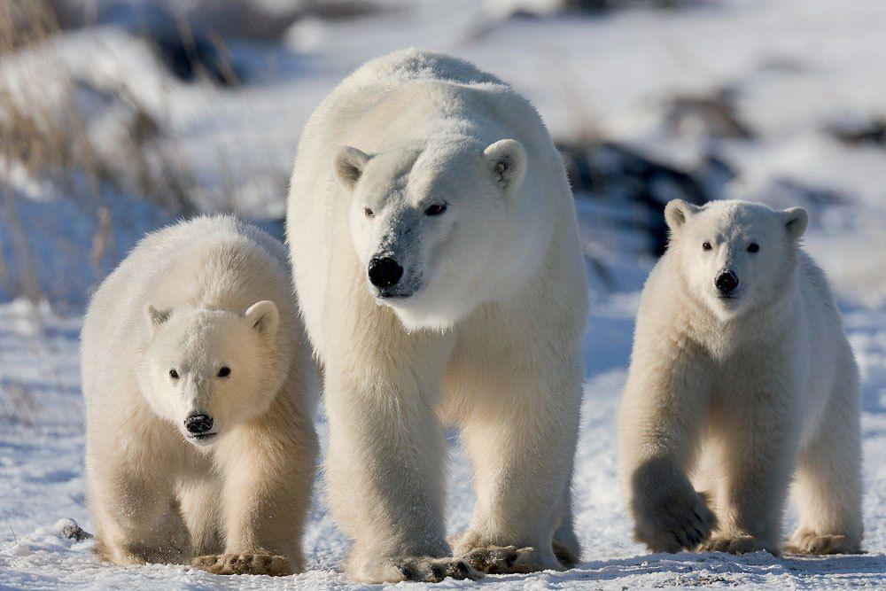 «Белые медведи» появятся в Северном Медведкове