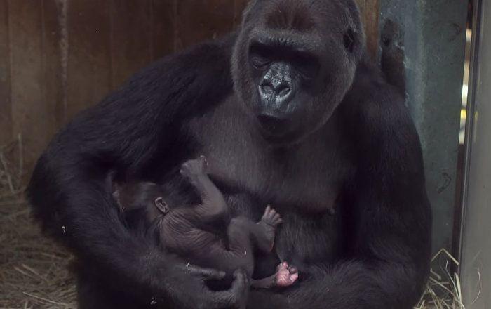 Детеныш редкой равнинной гориллы