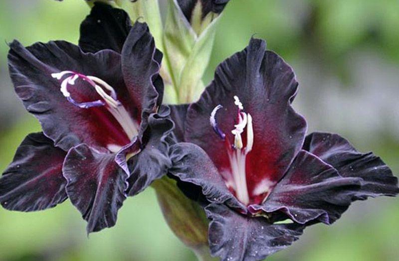 Черный гладиолус