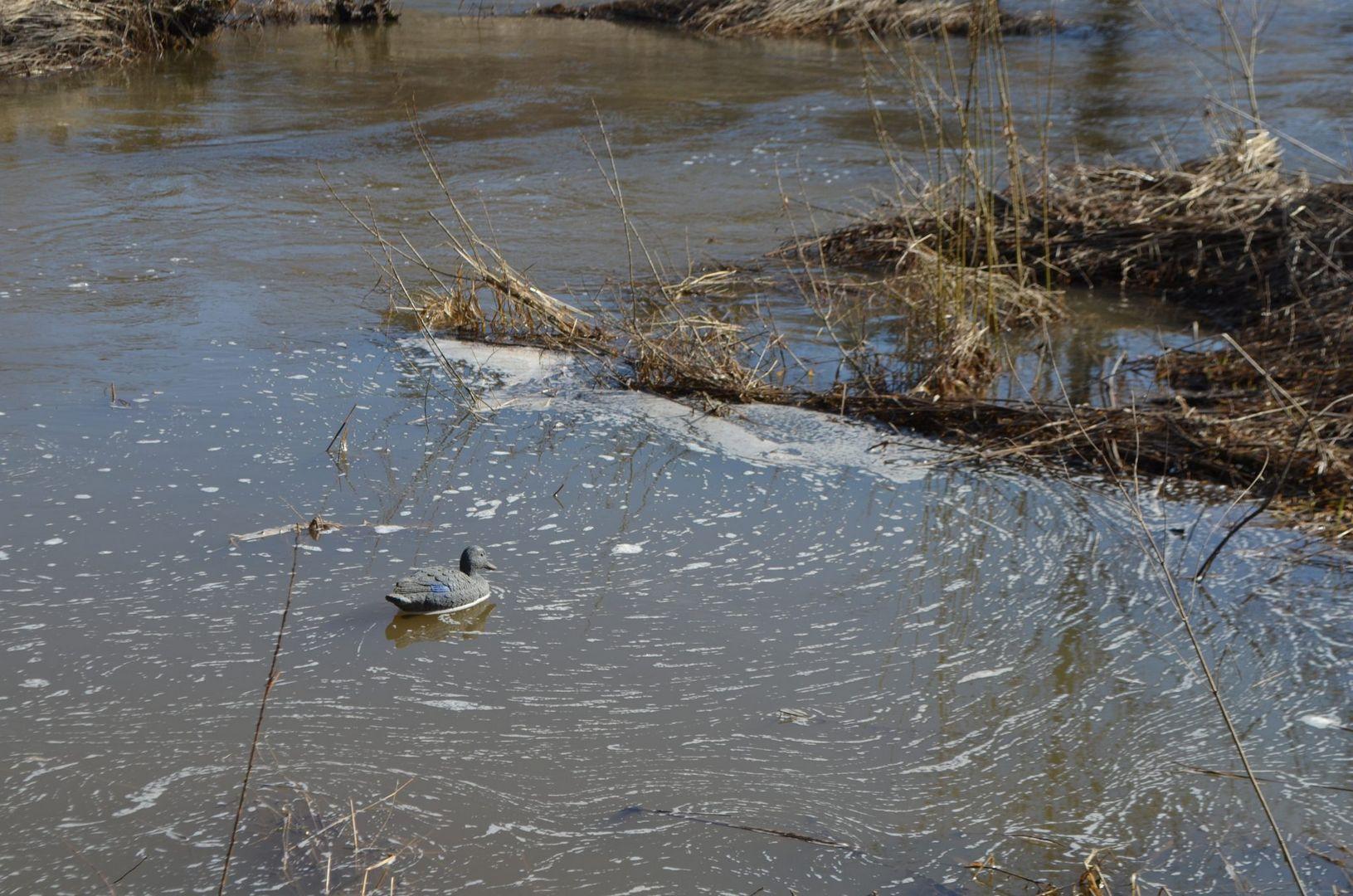 """Корреспондент """"Мой дом Москва"""" высадил в заводь чучело кряковой утки, так, чтобы она плавала на течении противотока, как живая."""