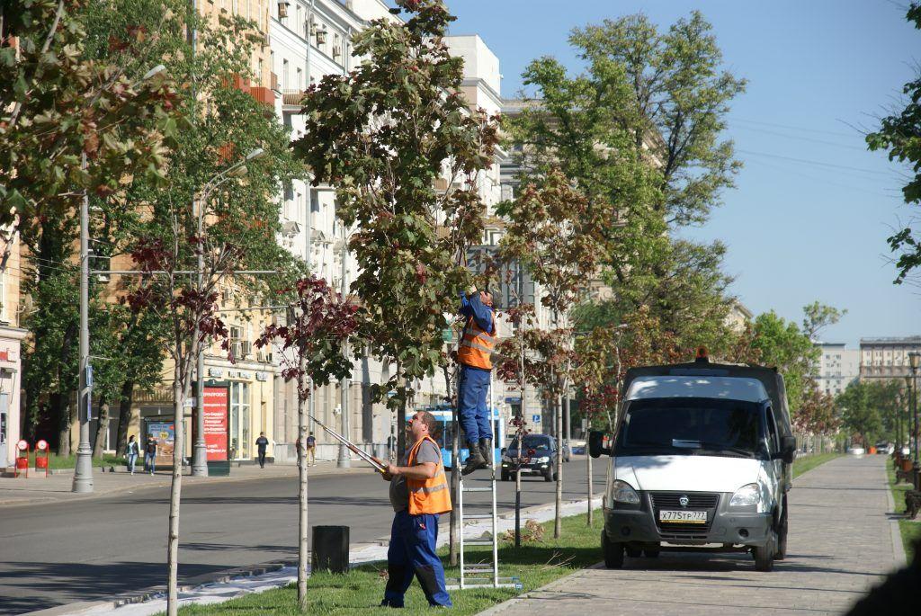 обрезка деревьев весна в Москве клены деревья