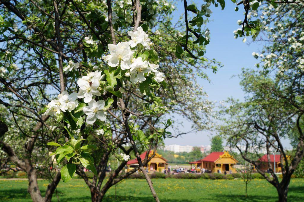 Яблоня в Коломенском парке