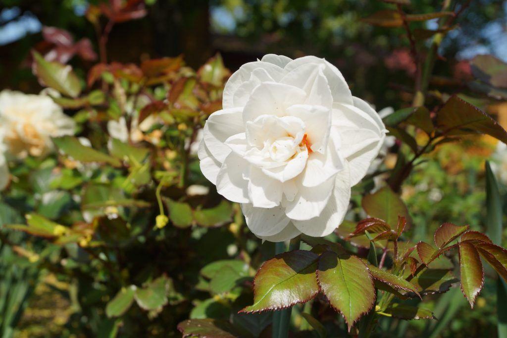 Нарцисс в Коломенском парке