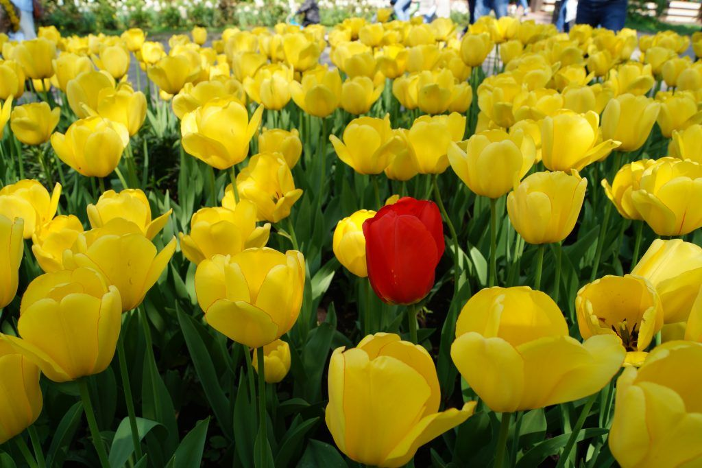 Тюльпаны в Коломенском парке