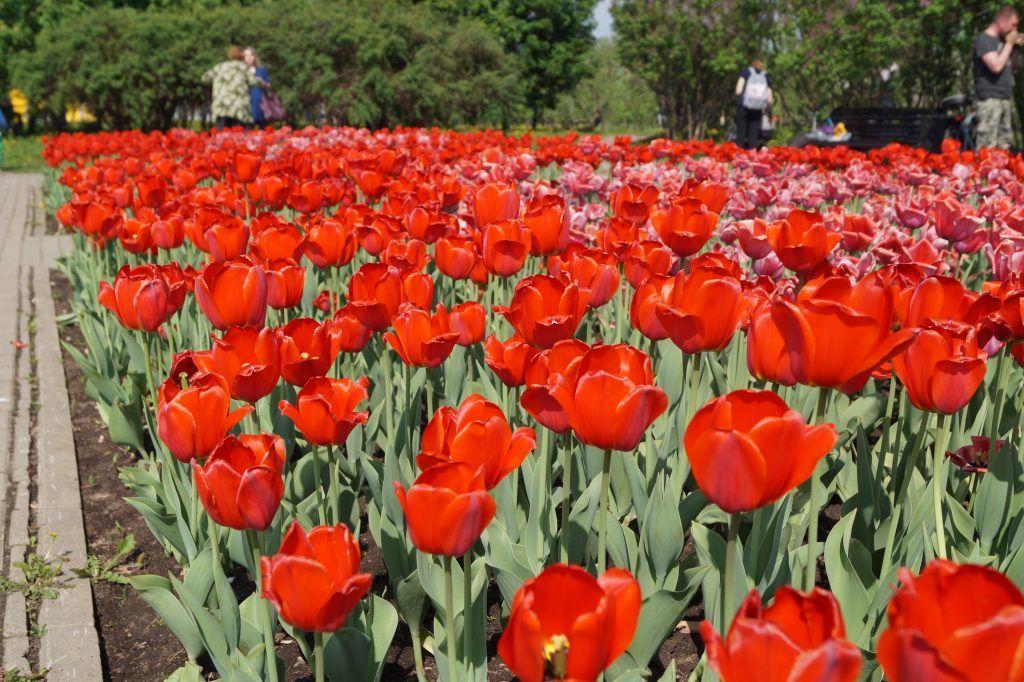 Красные и розовые тюльпаны в Коломенском парке