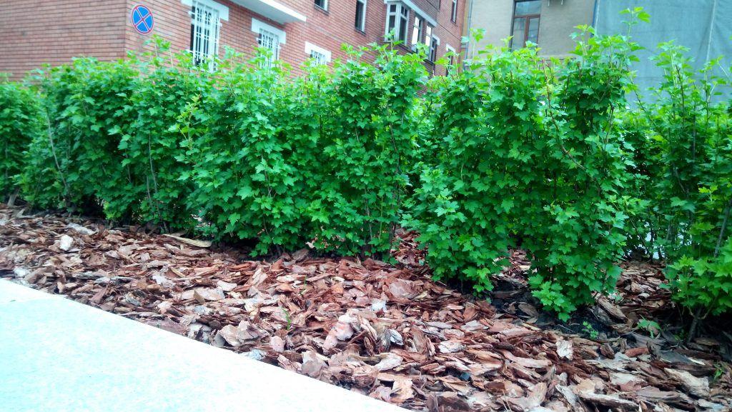 кусты озеленение