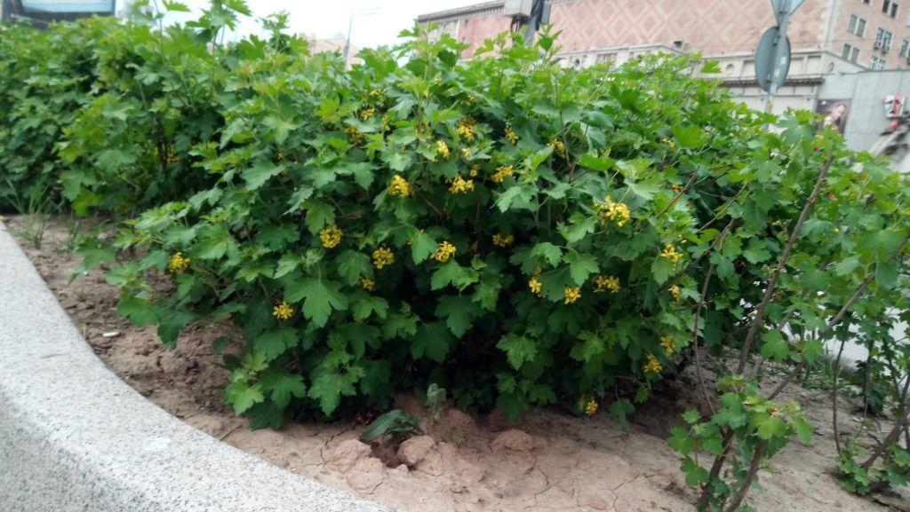 высадка кустов озеленение