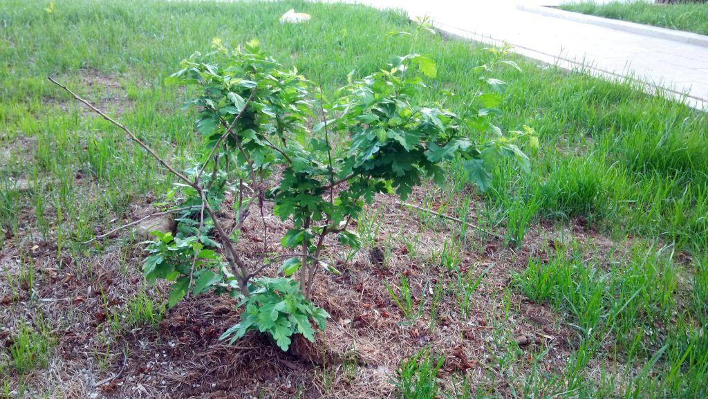 озеленение благоустройство кусты