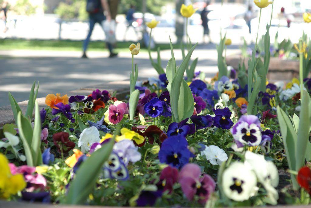 цветы весна в Москве украшение Москвы Анютины глазки