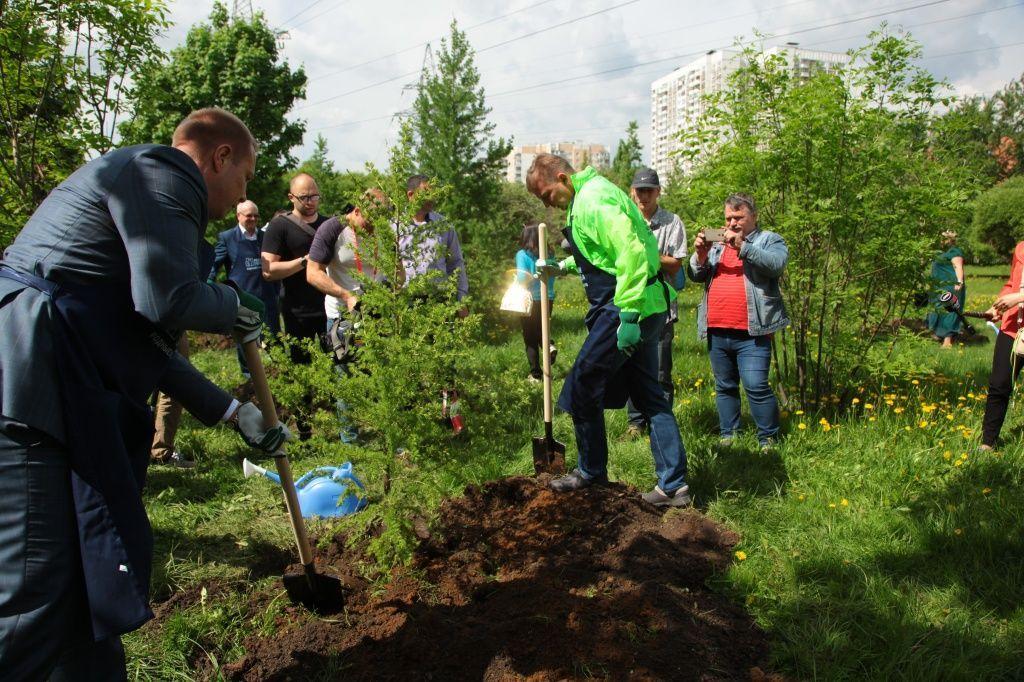 Лиственница высадка деревьев парки Москвы озеленение благоустройство