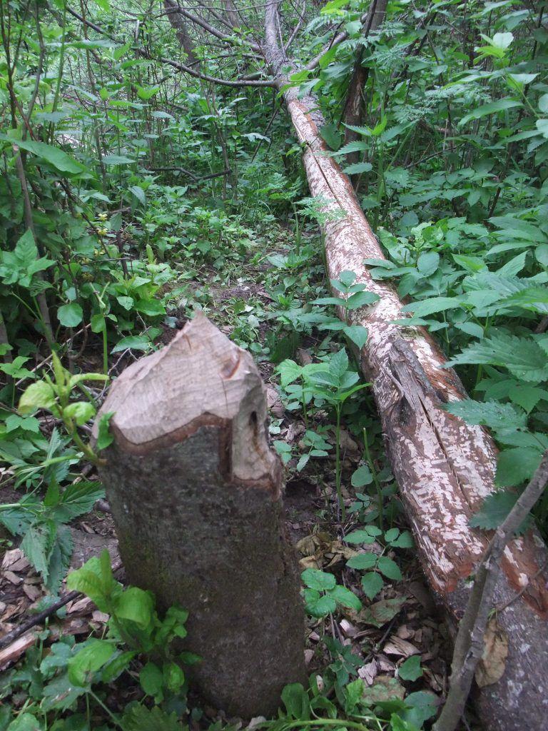 лес растения лето в Москве деревья пни