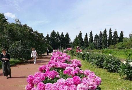 пионы озеленение благоустройство украшение Москвы