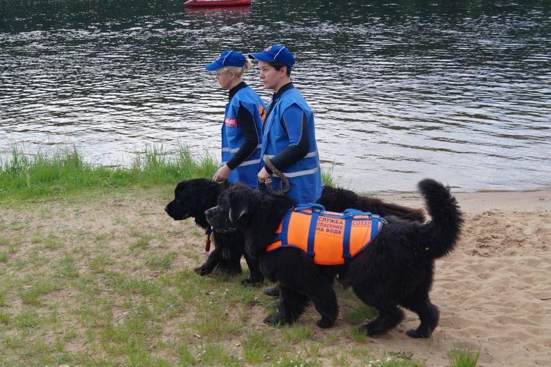 собаки-водолазы, служебные собаки, ньюфаундленд