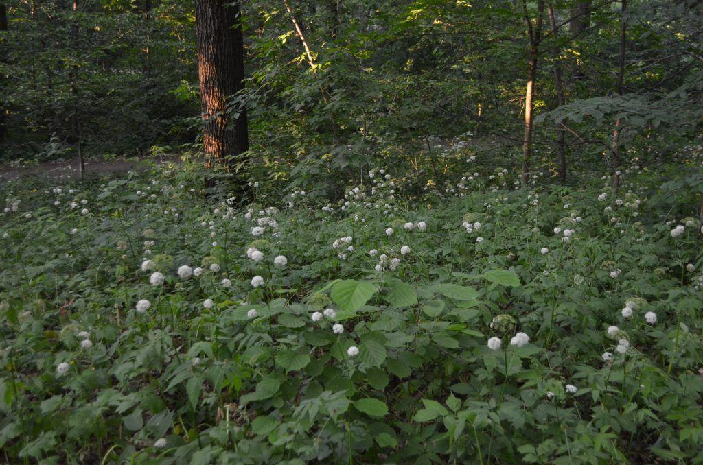 Тимирязевский парк растения Вех ядовитый