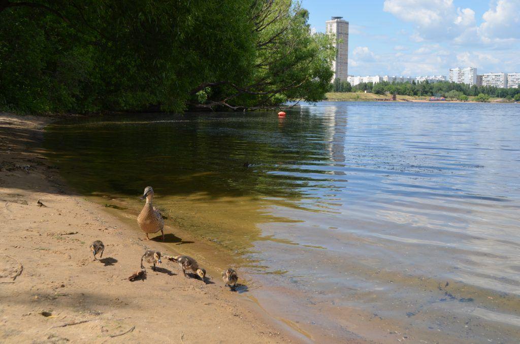 зона отдыха Строгинская пойма лето в Москве пруд утки