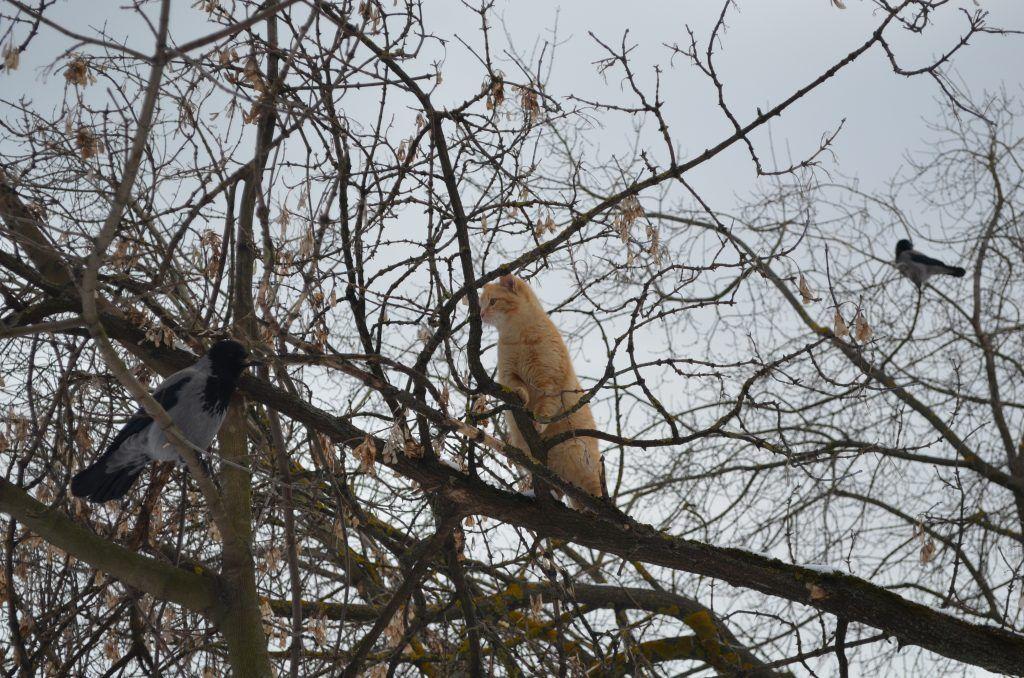 кошка, вороны