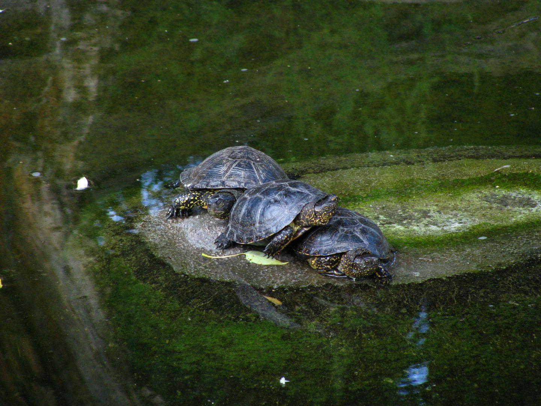 краснуха черепаха