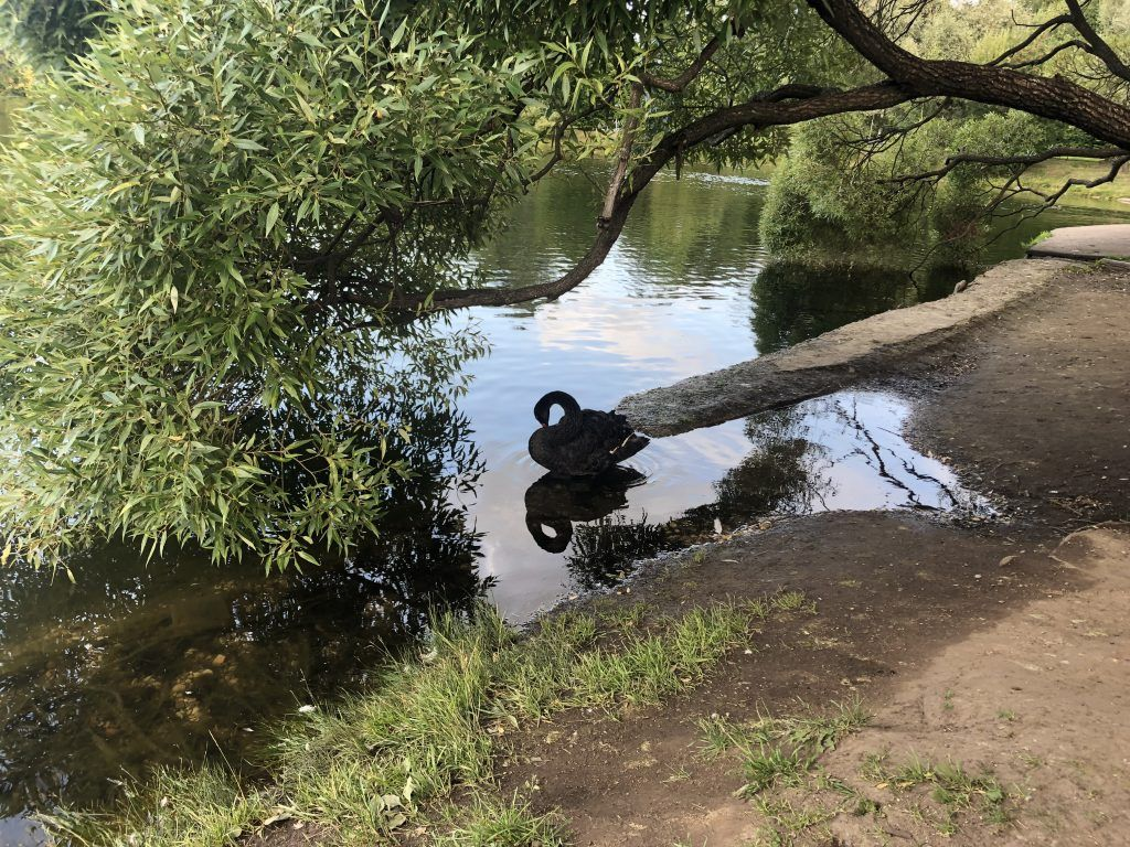 Чёрный лебедь в пруду