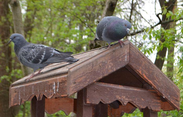 голуби, птицы, кормушка