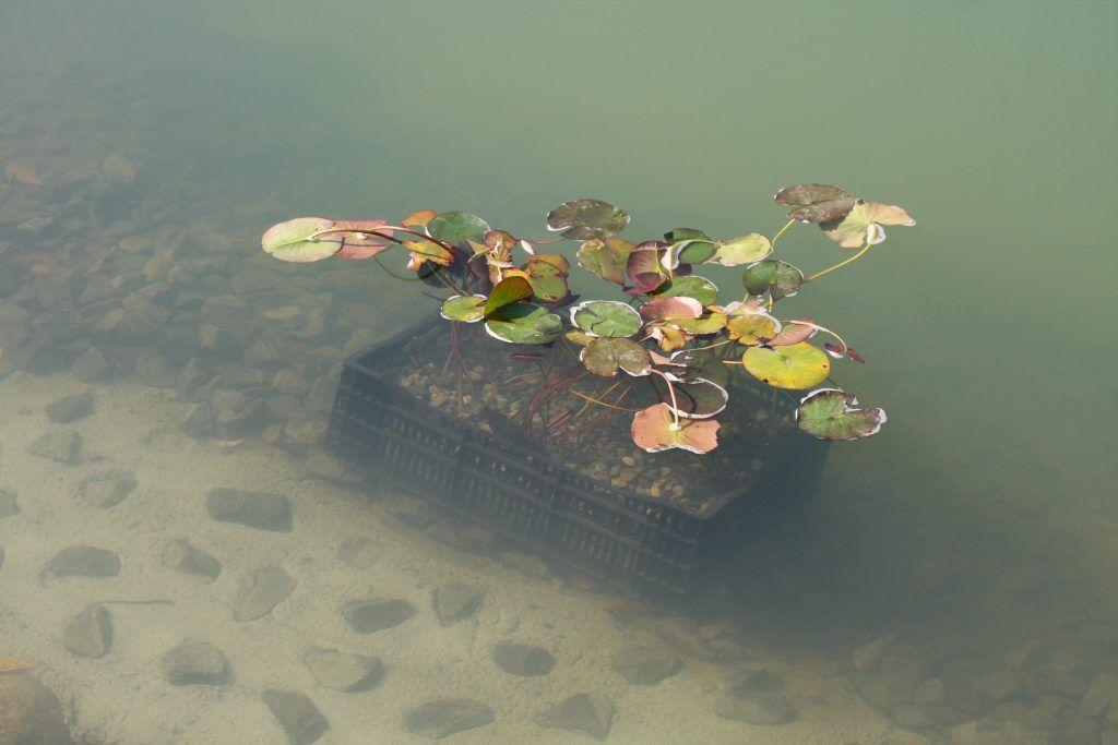 Нимфея, Дегунинский пруд, благоустройство, Западное Дегунино, зарыбление