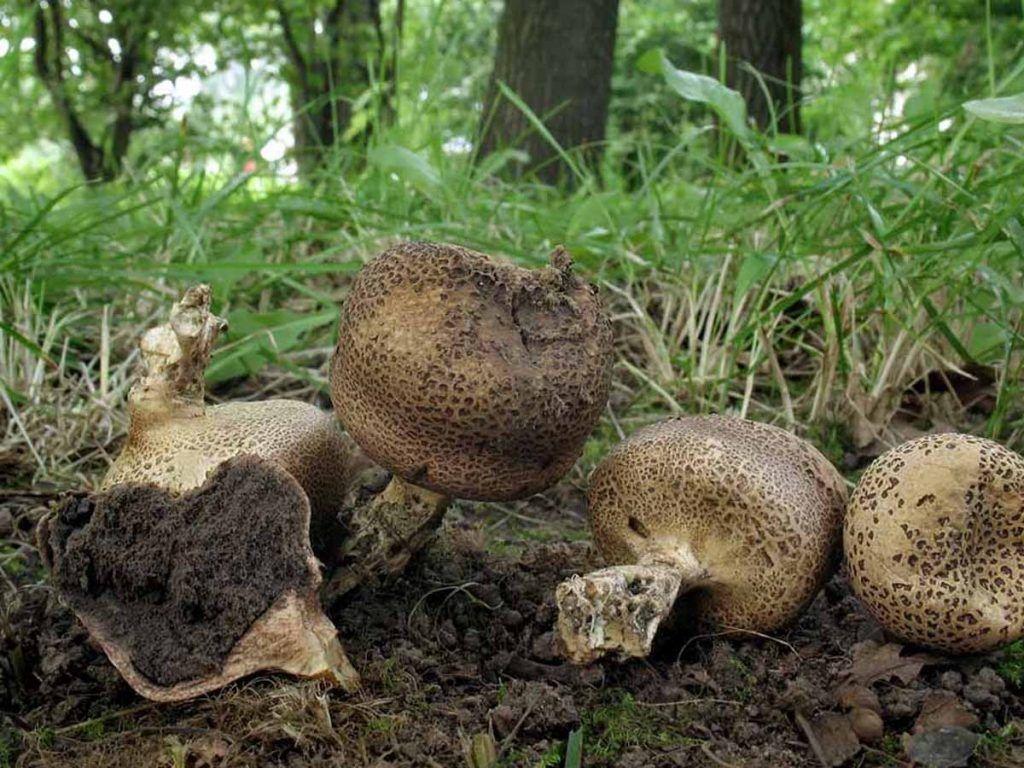Дождевик, грибы, лес