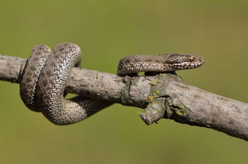 Змеи владимирской области фото и название