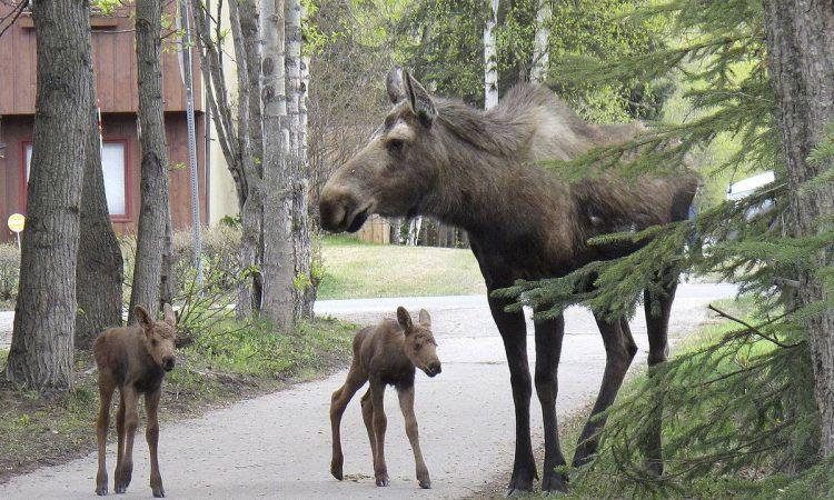"""Лосиха с лосятами на биостанции Национального парка """"Лосиный остров"""". Это совершенно ручные животные. Когда лосята подрастут сотрудники биостанции оденут им на шеи специальные спутниковые радиопередатчики-маячки."""