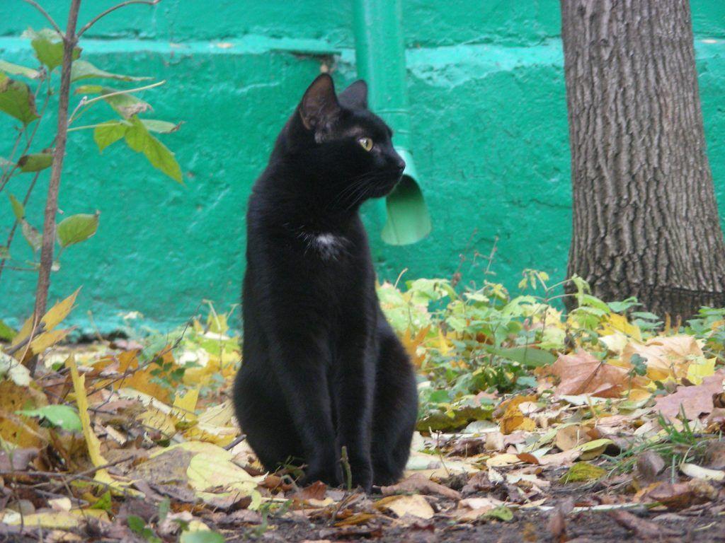 кот, черные коты