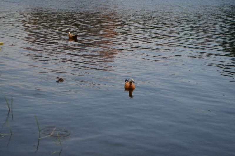 пруд, утки