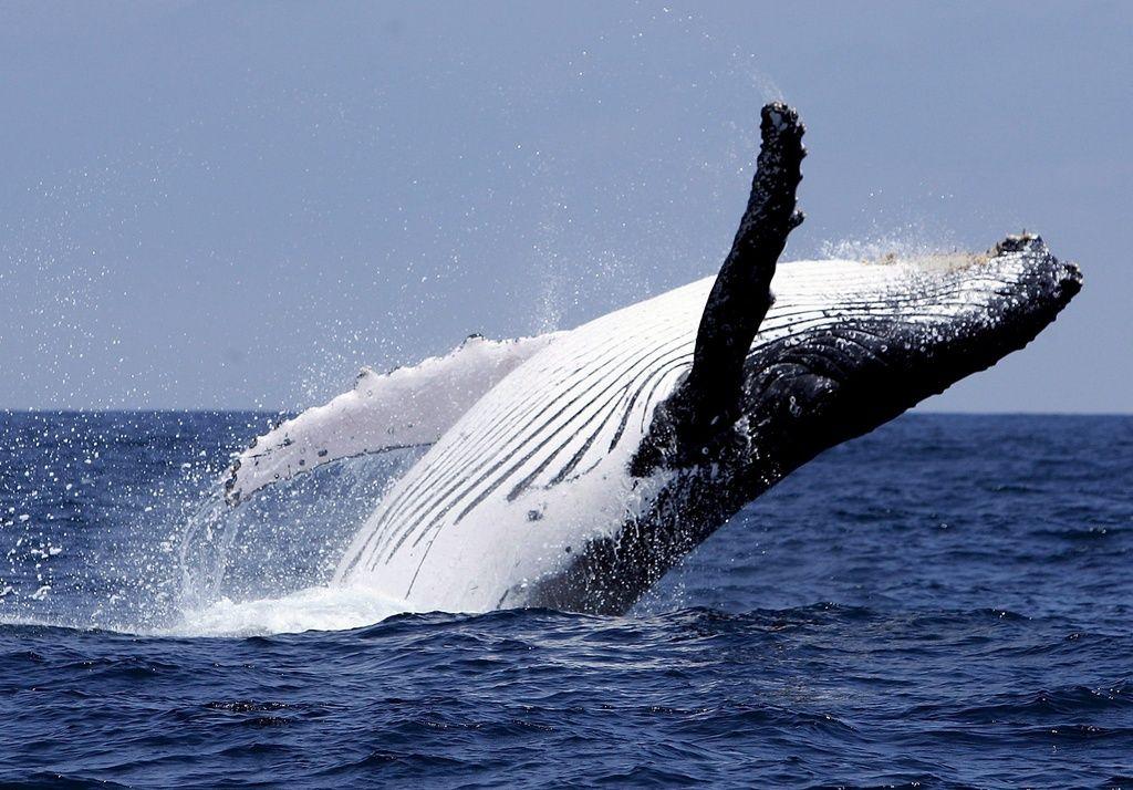 киты-полосатики