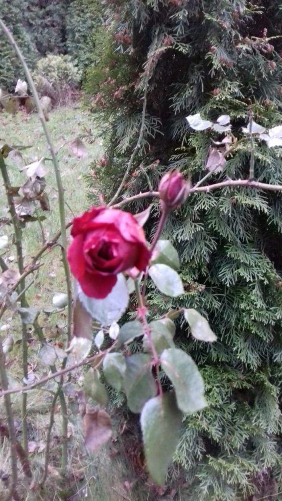 оттепель, роза, растения, зима в Москве