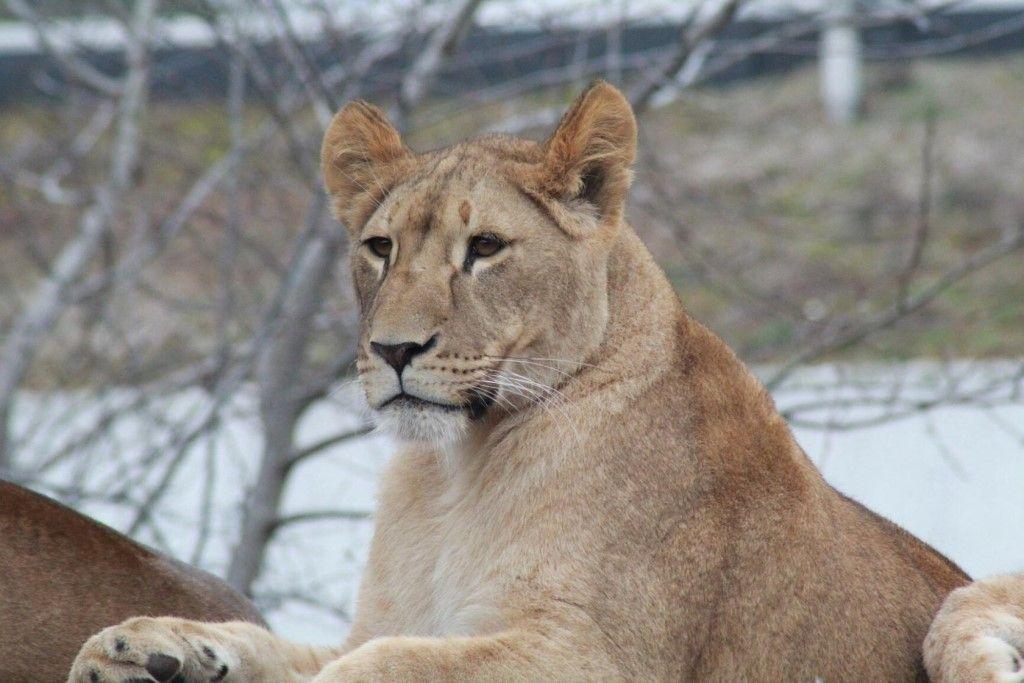 львица Сима