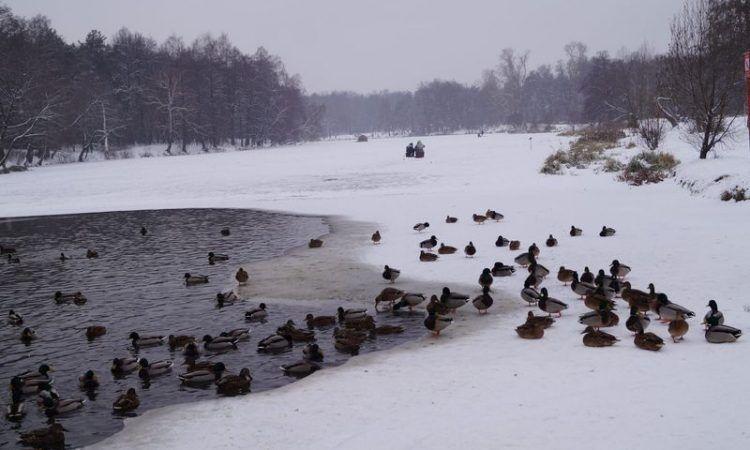 птицы, зима, лед, снег