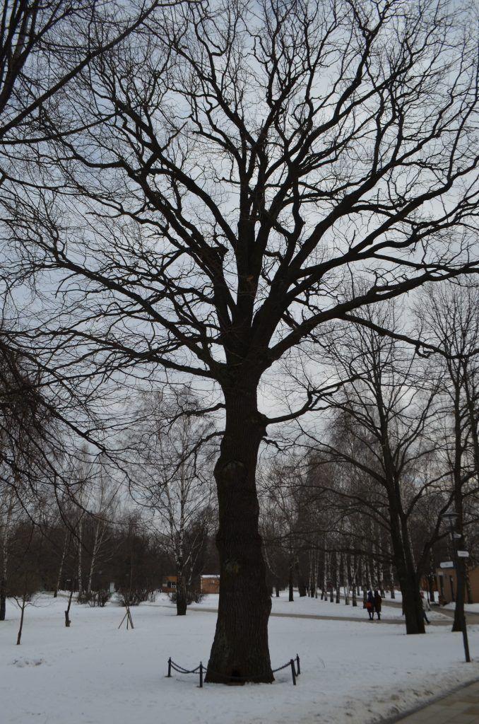Сад будущего, СВАО, парки Москвы, парк Леоново, дуб