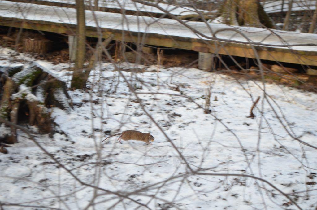 крысы, зима, лес
