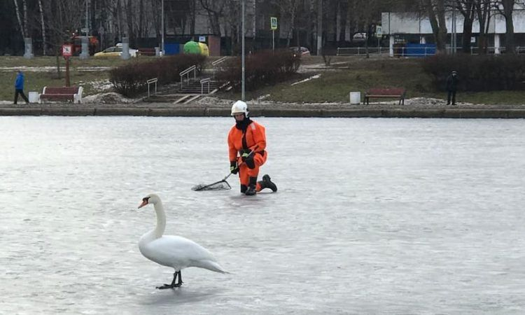 лебедь, пруд, спасатели