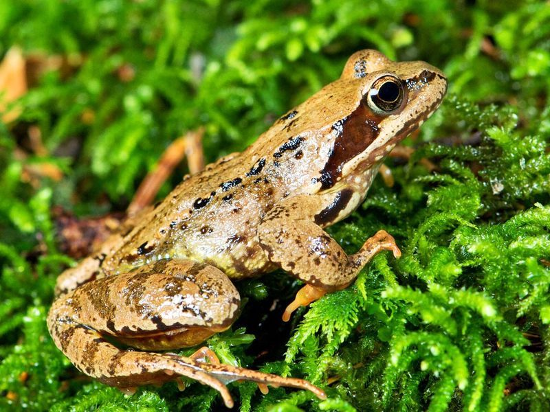 травяные лягушки