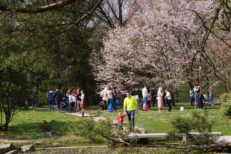 сакура, сад, вишня цветет