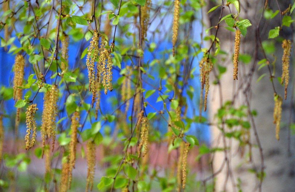 береза, весна в Москве, цветение, аллергия