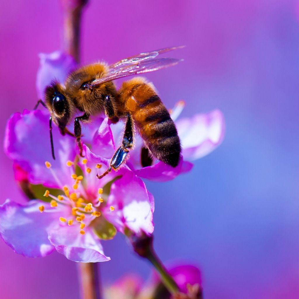 пчеловодство, пчелы