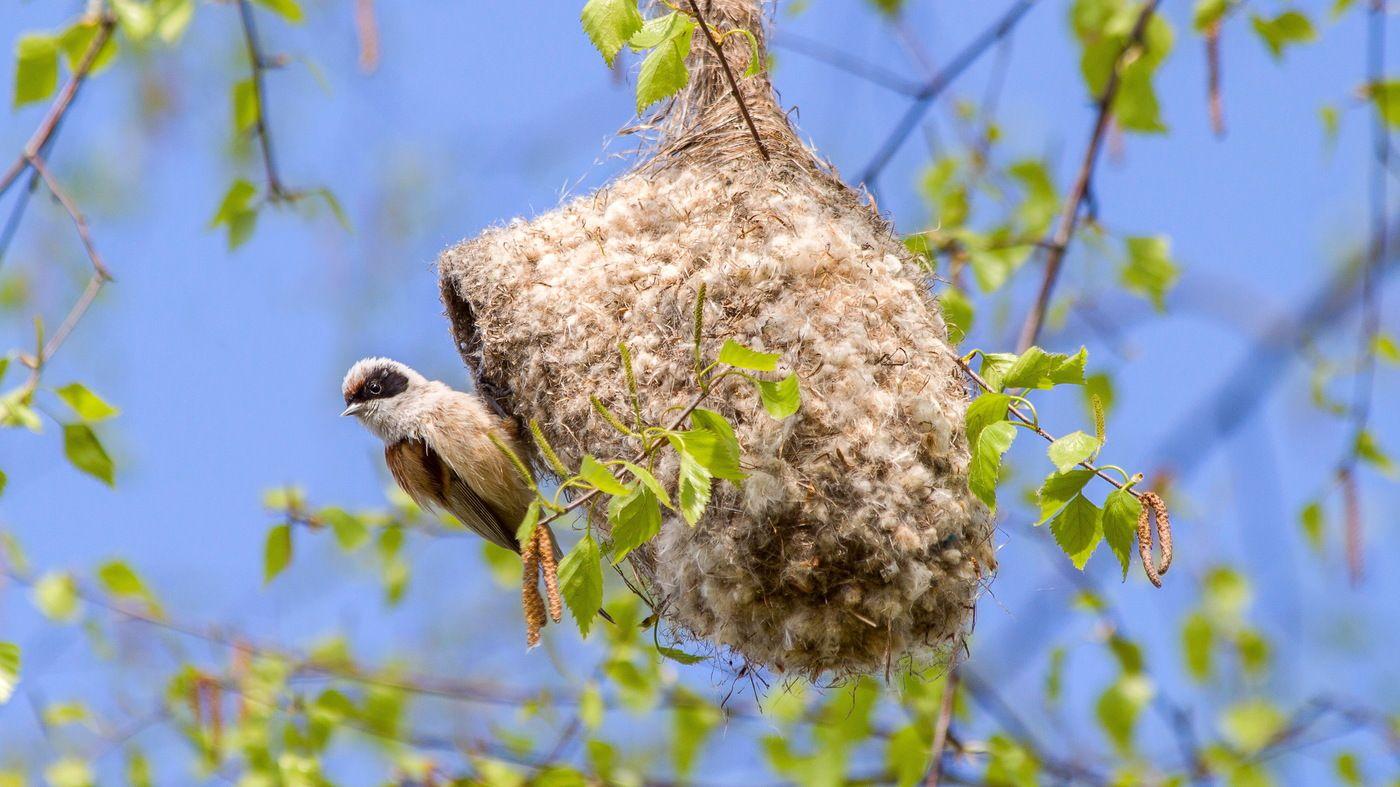 гнездо ремеза, птица