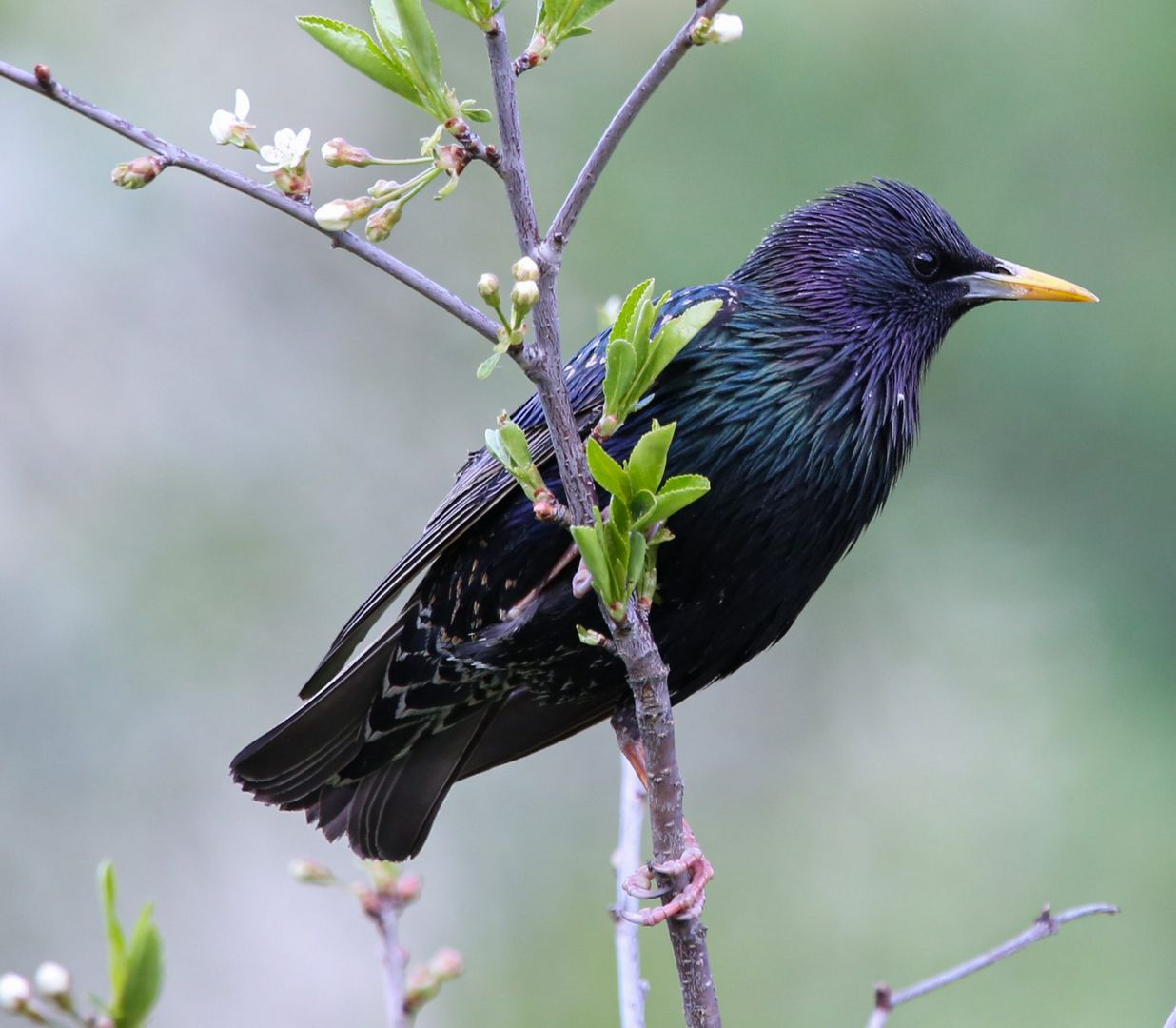 птица, скворец
