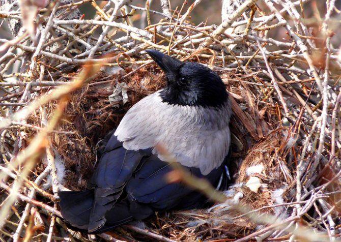 Ворона высиживает птенцов