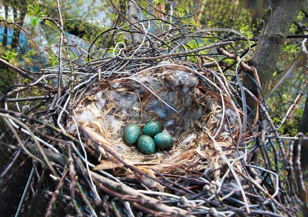 Вороньи яйца в гнезде