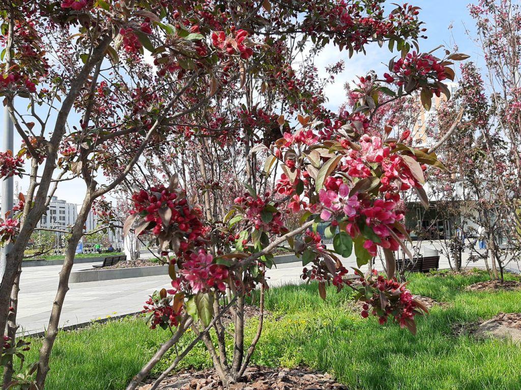 цветение, весна в Москве