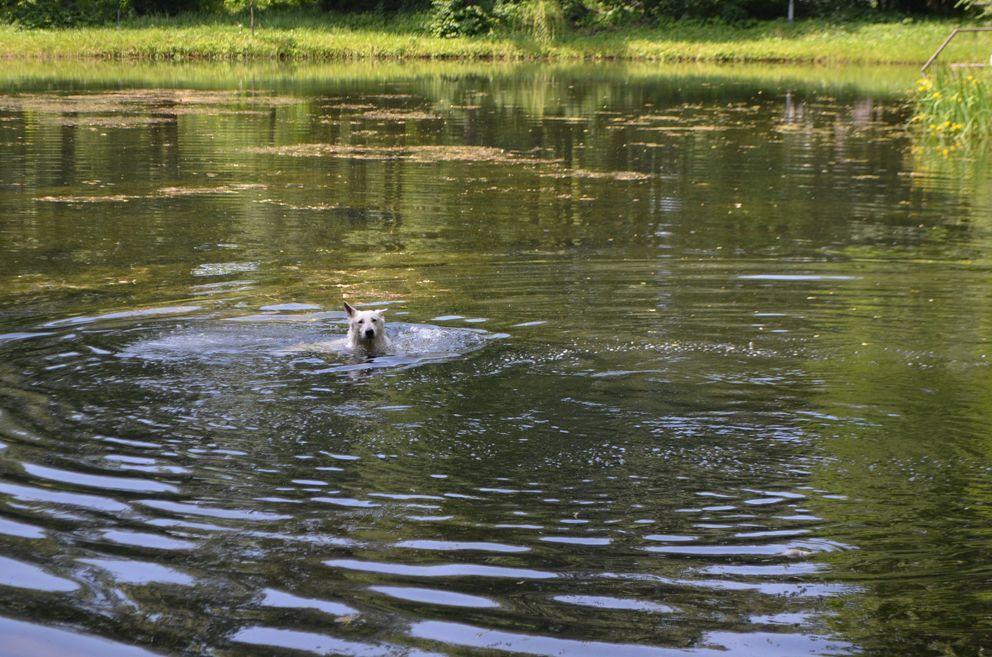 Собака-спасатель ко всему прочему отличный пловец.