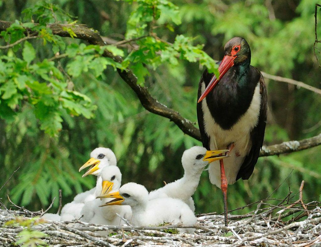 птенец черного аиста