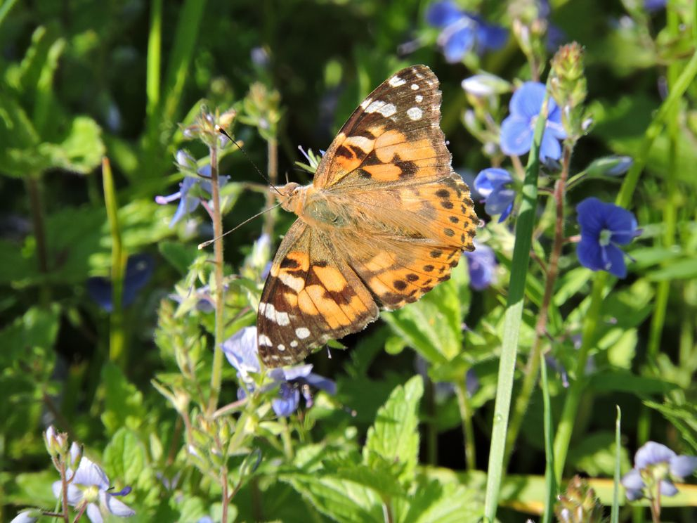 репейница, бабочка