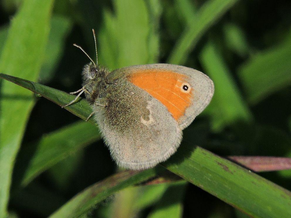 сенница, бабочка