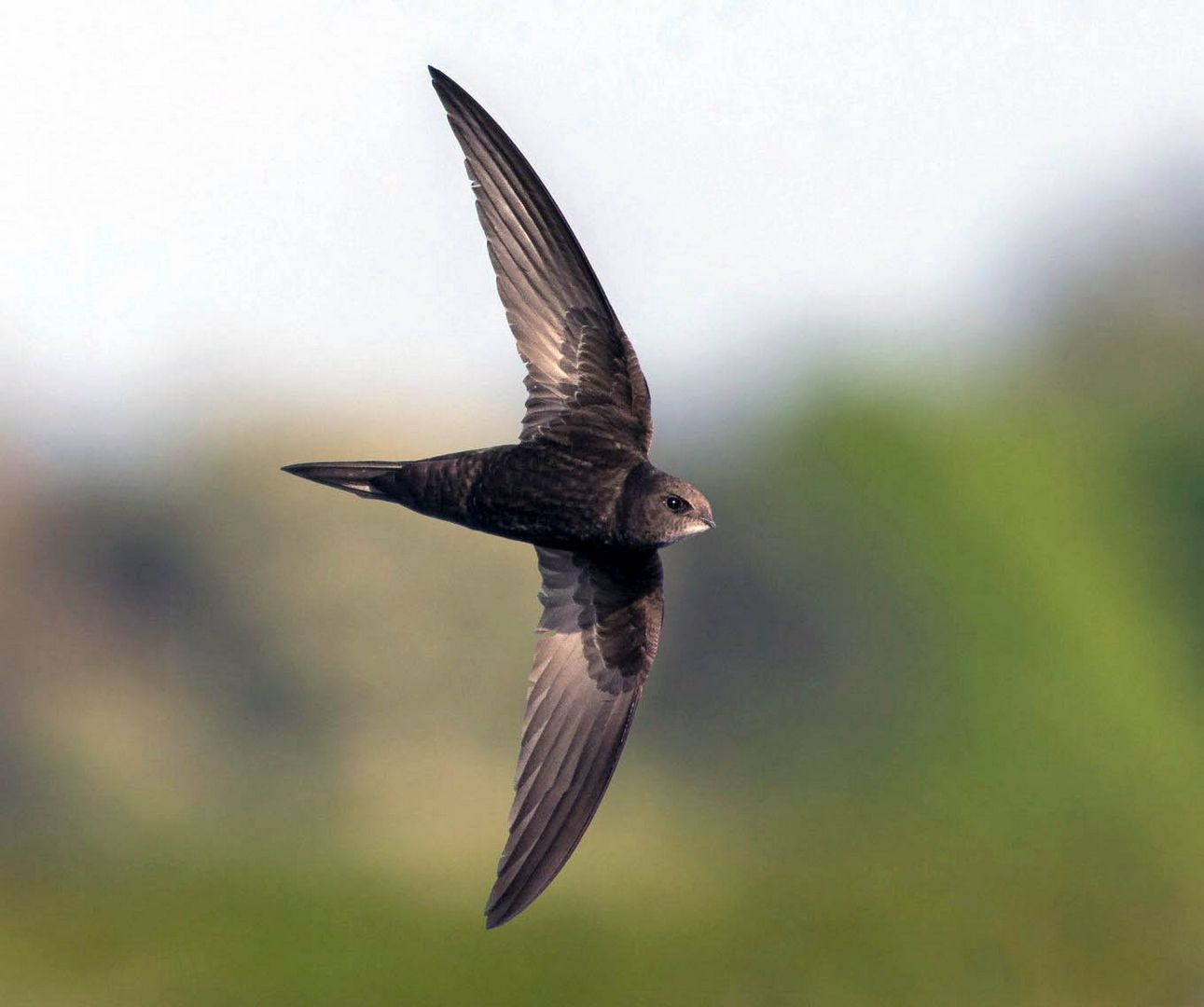 Фото стрижей птицы